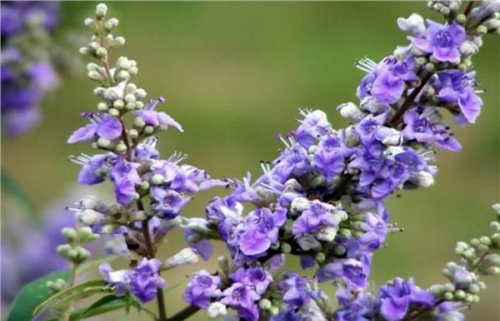بالبلدي : 7 فوائد صحية «لعشبة كف مريم».. منها علاج انقطاع الطمث والعقم