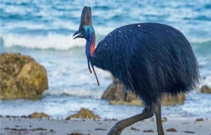 """بالبلدي : كيف إستأْنس الإنسان  القديم """"أخطر طائر في العالم"""""""